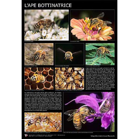 "Photographic poster ""The forager bee"" 60x90 cm"