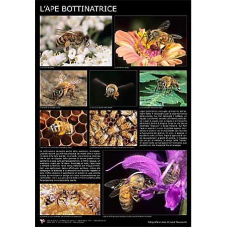 "Poster fotografico ""l'ape bottinatrice"" 60x90cm"