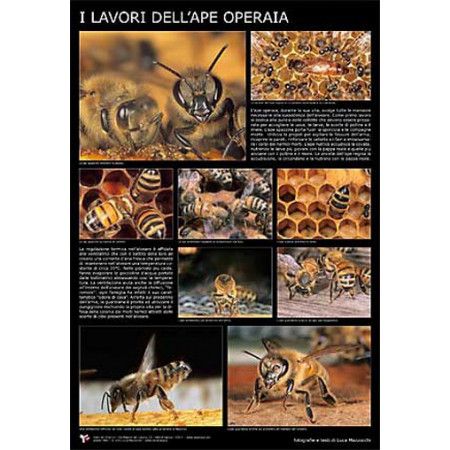 """The tasks of worker bees"" photographic poster 60x90cm"