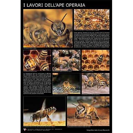 """Poster fotografico """"I lavori dell'ape operaia"""" 60x90cm"""